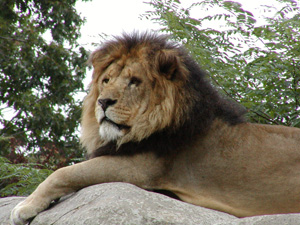 Franklin Park - Lion